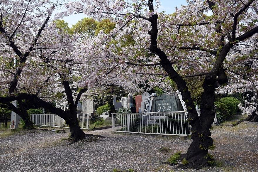 大阪護国・桜 (14)