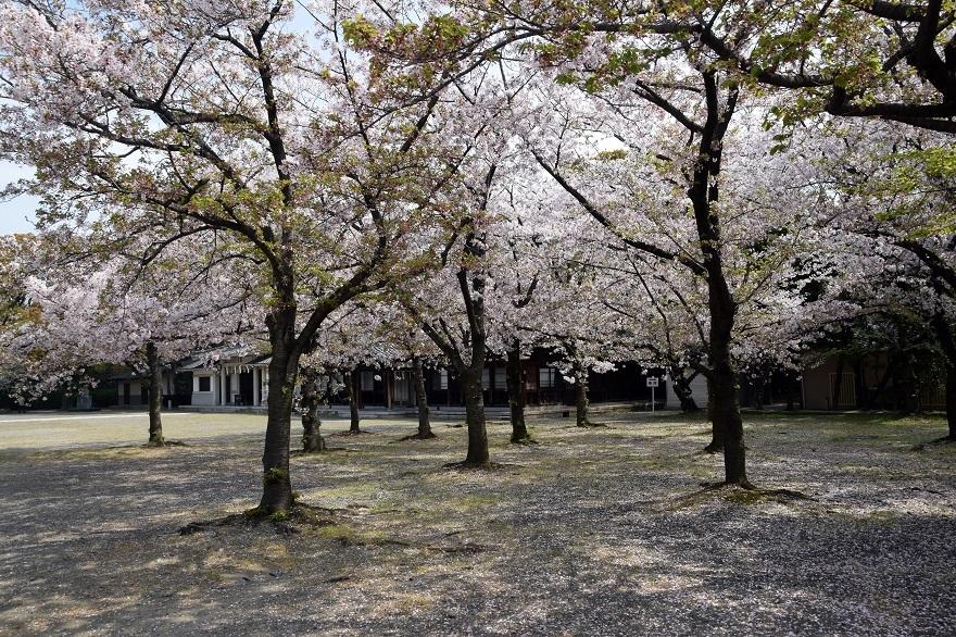 大阪護国・桜 (17)
