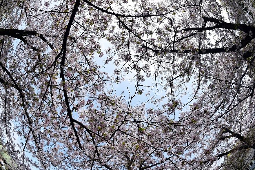 大阪護国・桜 (19)