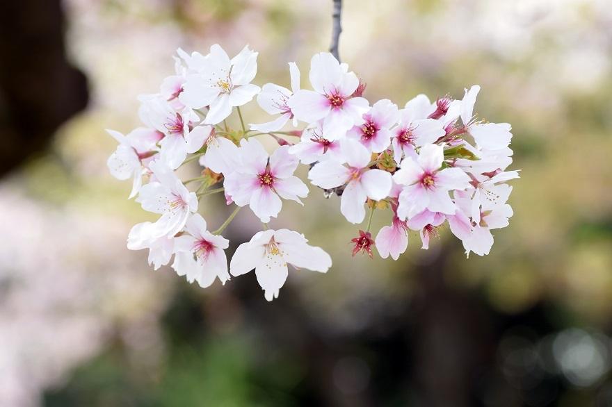 大阪護国・桜 (10)