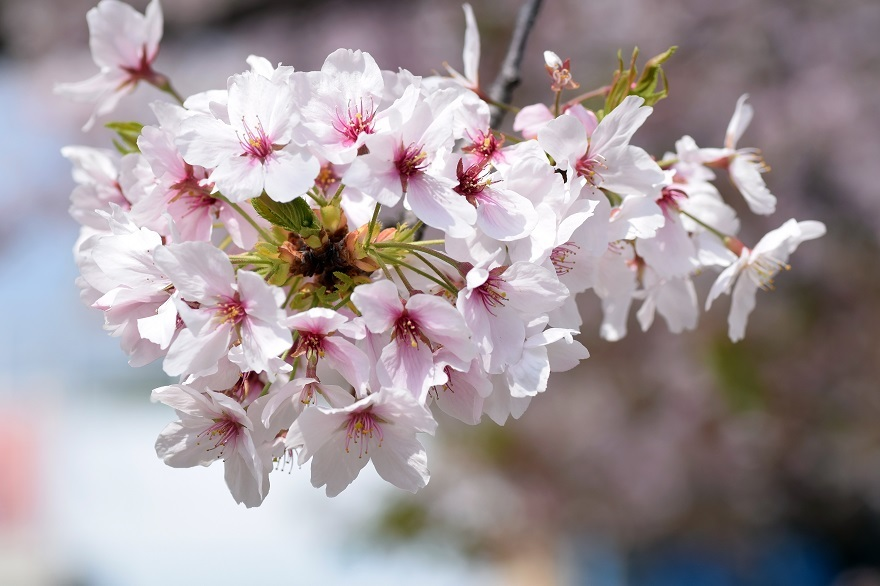 大阪護国・桜 (12)