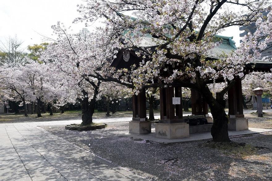 大阪護国・桜 (20)