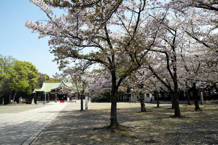 大阪護国・桜 (21)