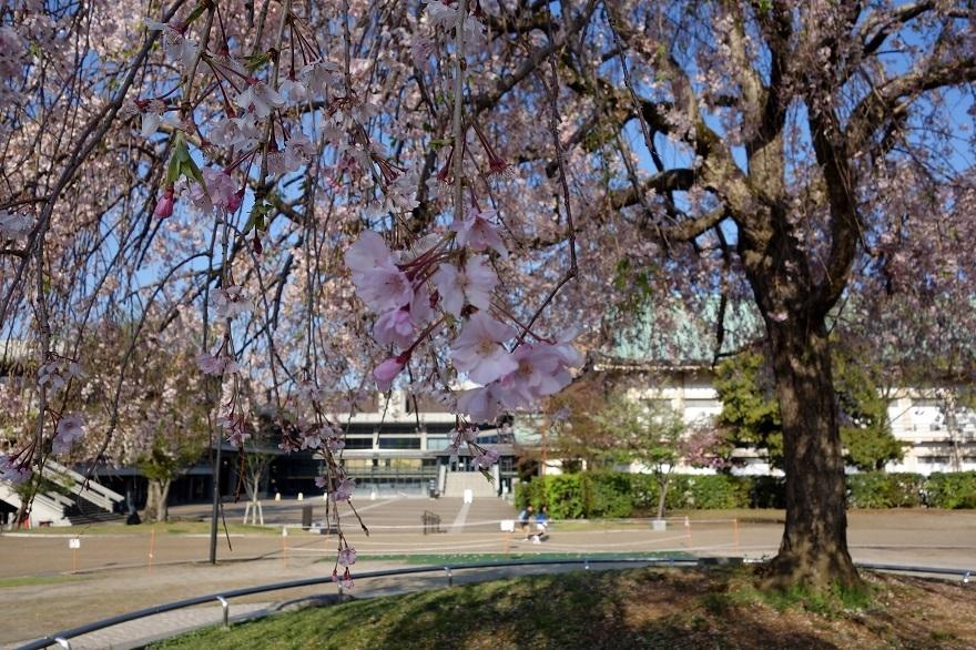 平安神宮・桜 (2)