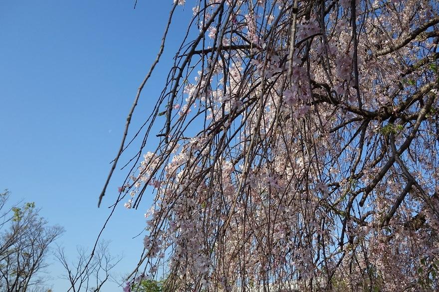 平安神宮・桜 (3)