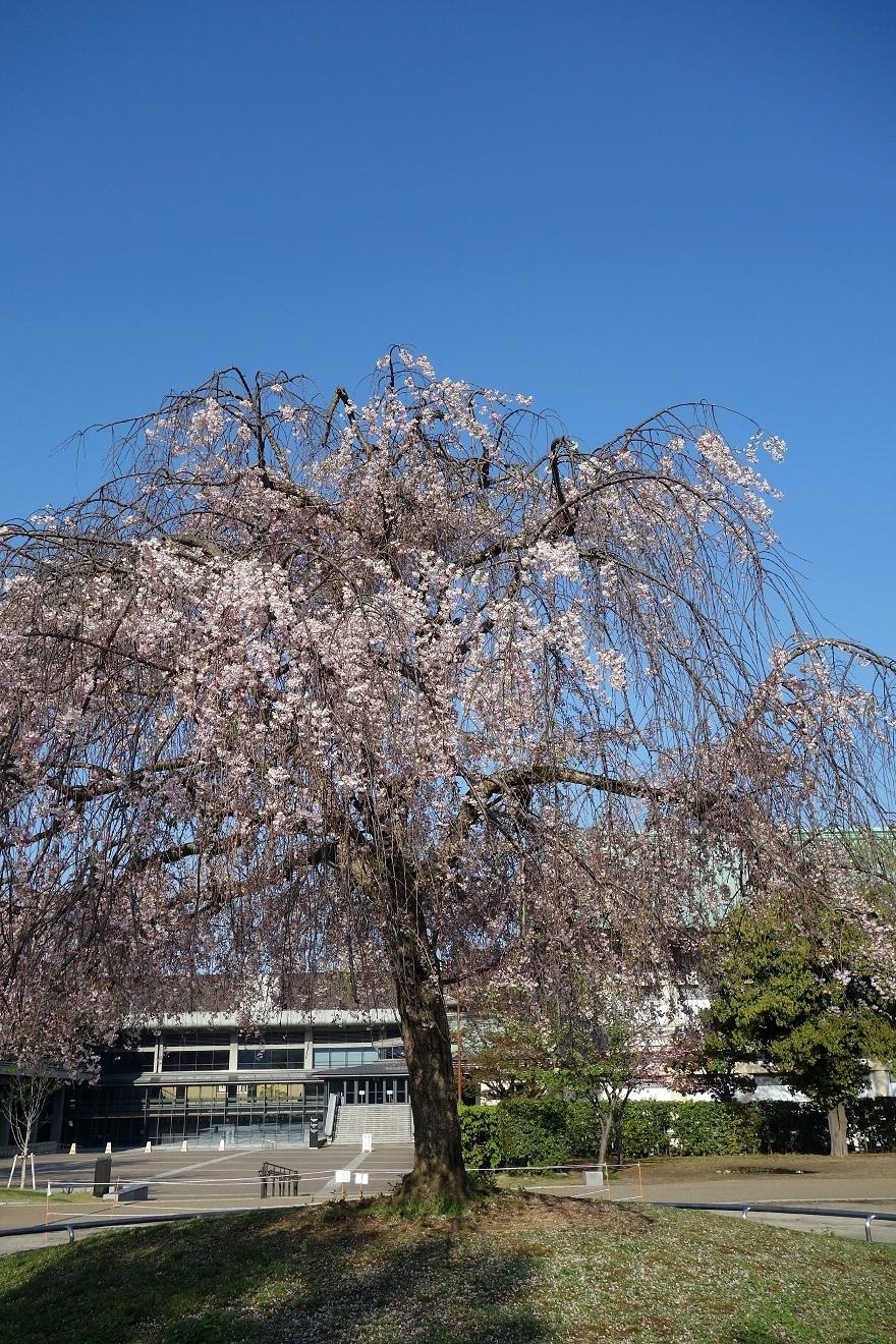平安神宮・桜 (4)