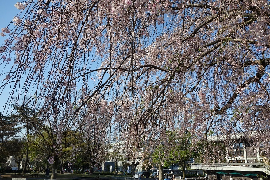 平安神宮・桜 (5)