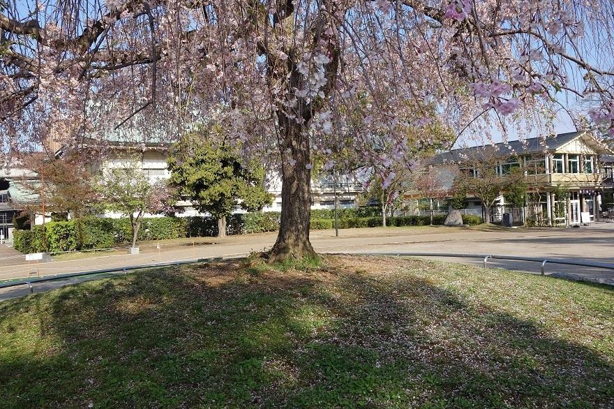 平安神宮・桜 (6)