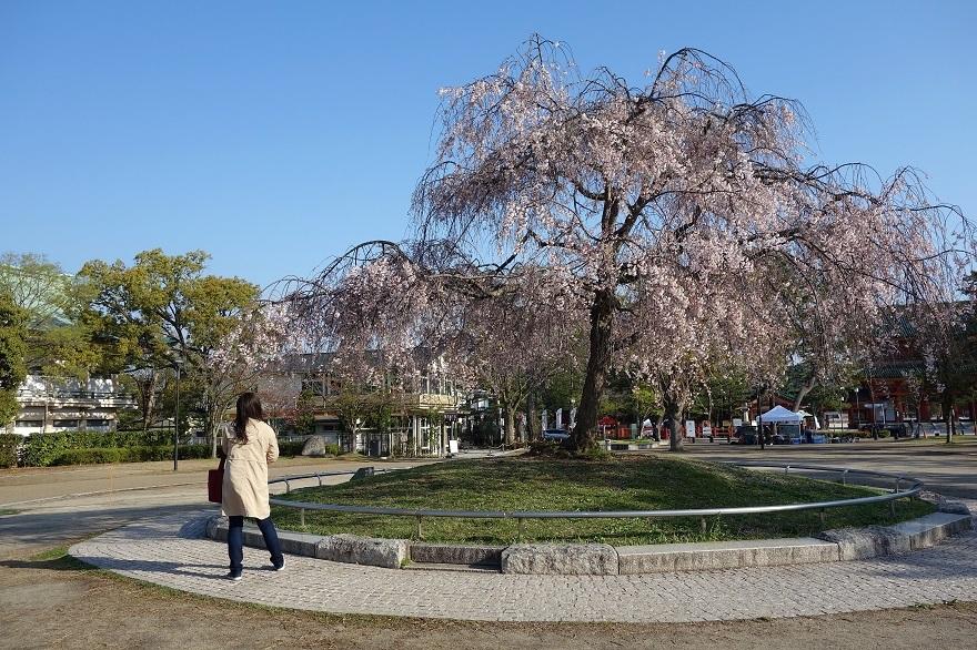 平安神宮・桜 (7)