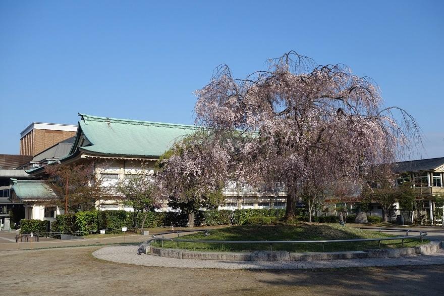 平安神宮・桜 (8)