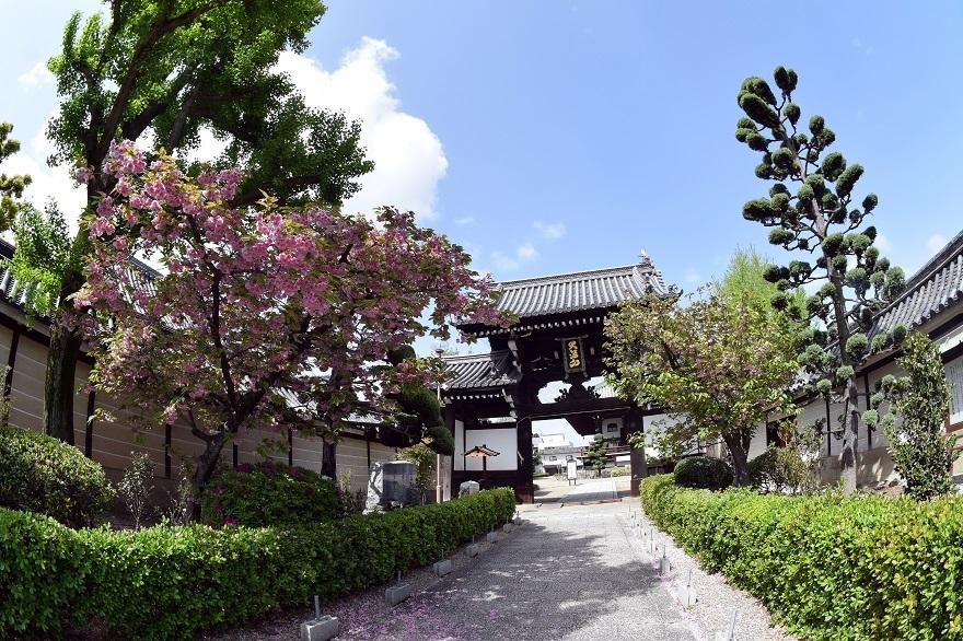 大念仏寺・桜#2 (0)