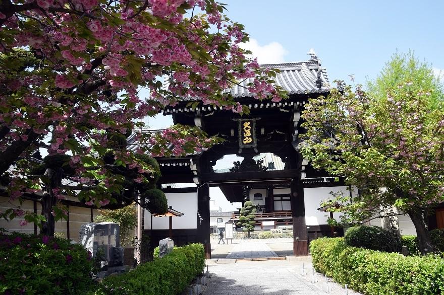 大念仏寺・桜#2 (1)