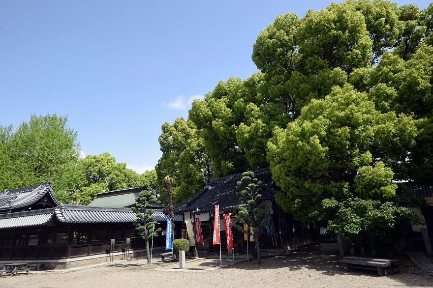 大念仏寺・桜#2 (4)