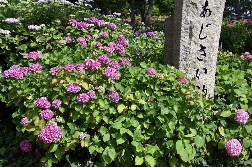 住吉・紫陽花 (0)