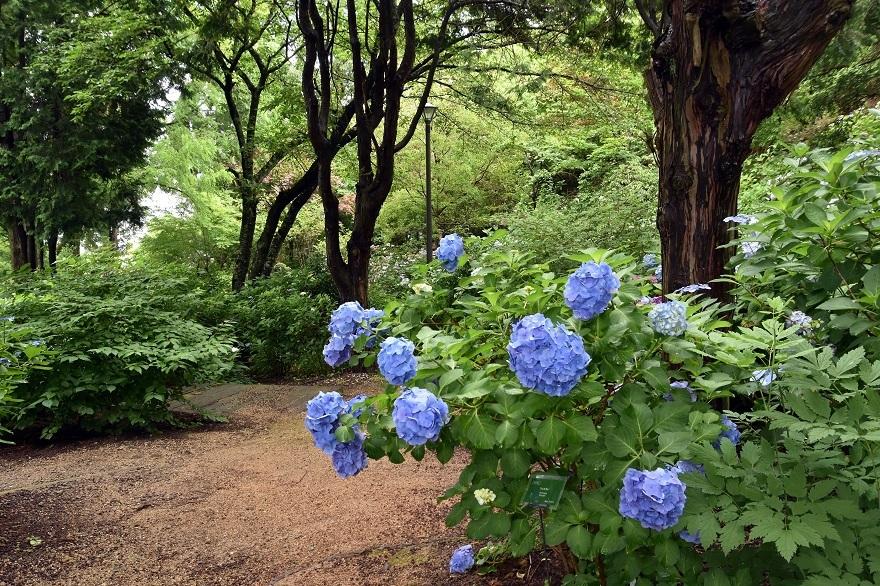 花の文化・紫陽花 (0)