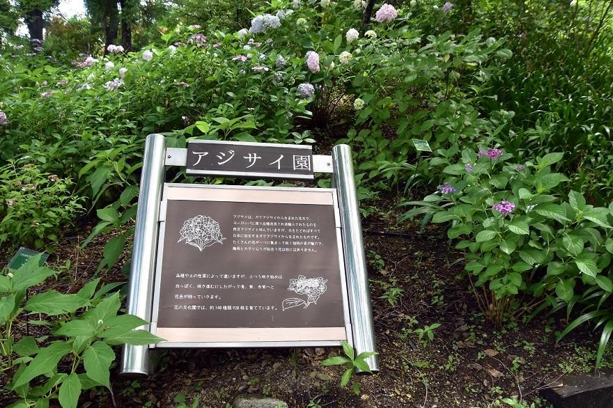 花の文化・紫陽花 (01)