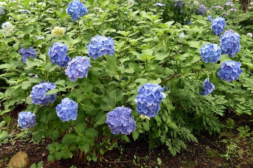 花の文化・紫陽花 (1)