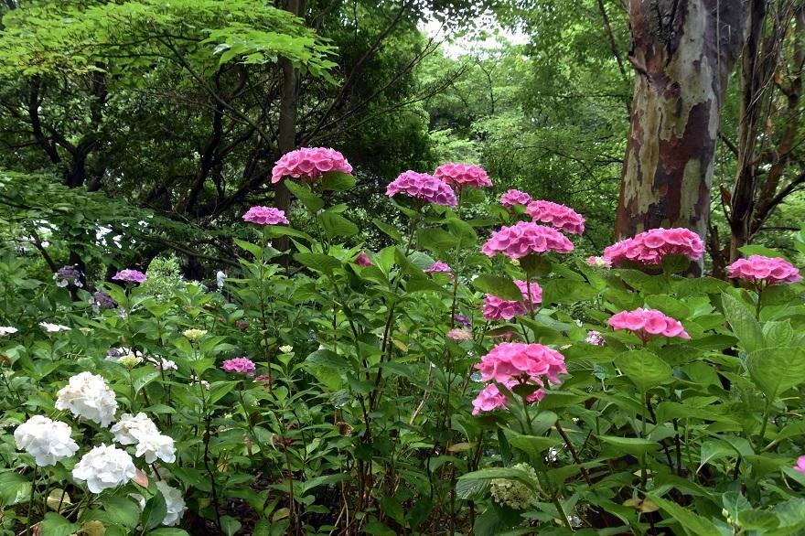 花の文化・紫陽花 (3)