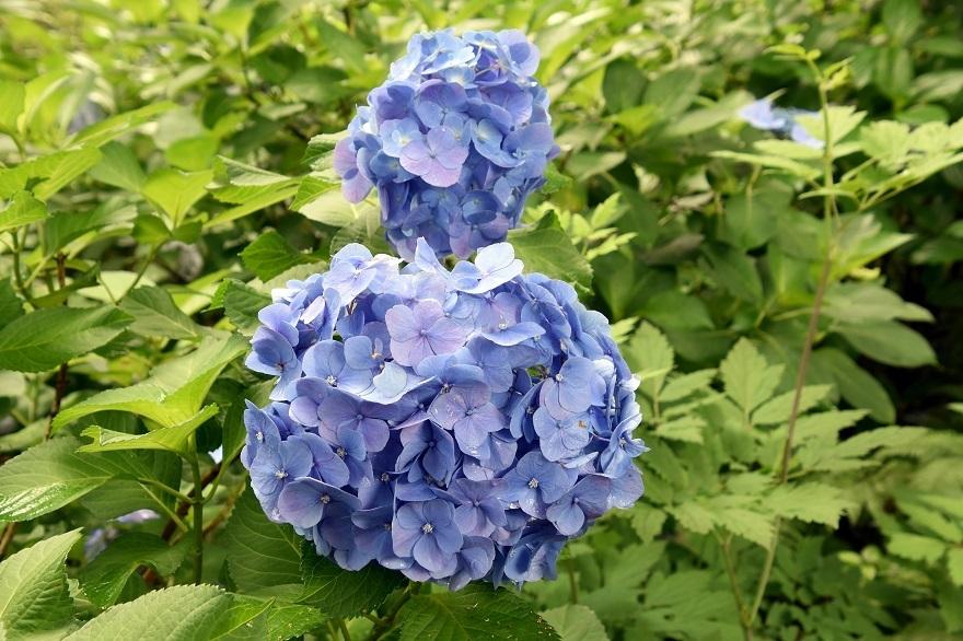 花の文化・紫陽花 (2)
