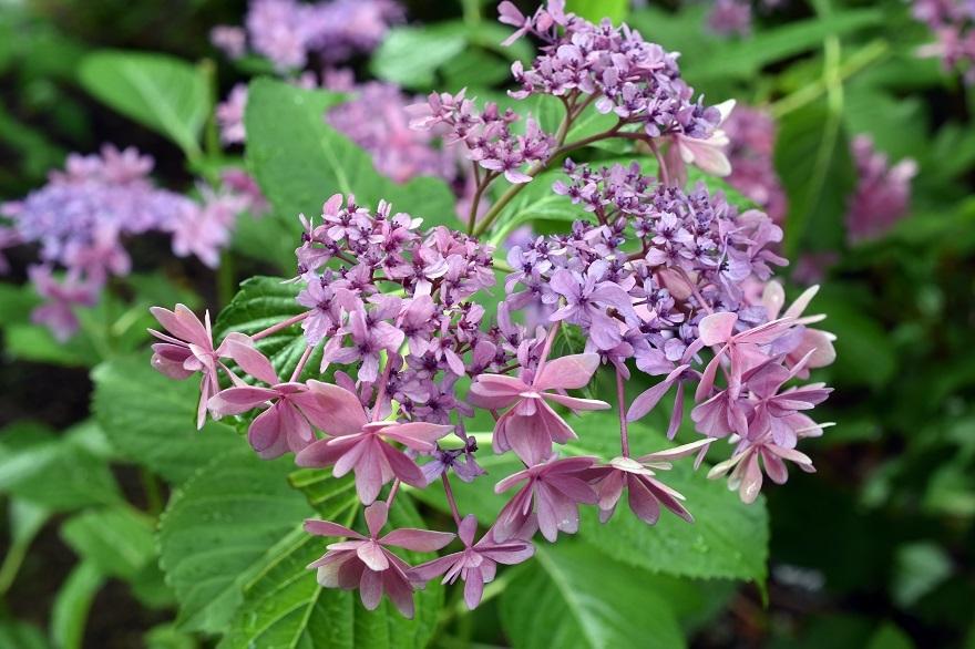 花の文化・紫陽花 (4)