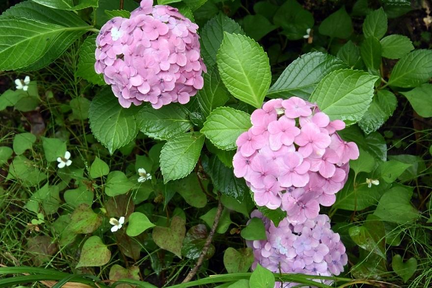 花の文化・紫陽花 (5)