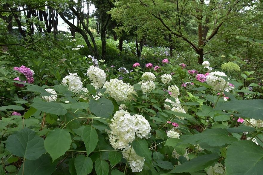 花の文化・紫陽花 (6)