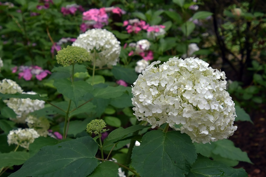 花の文化・紫陽花 (7)