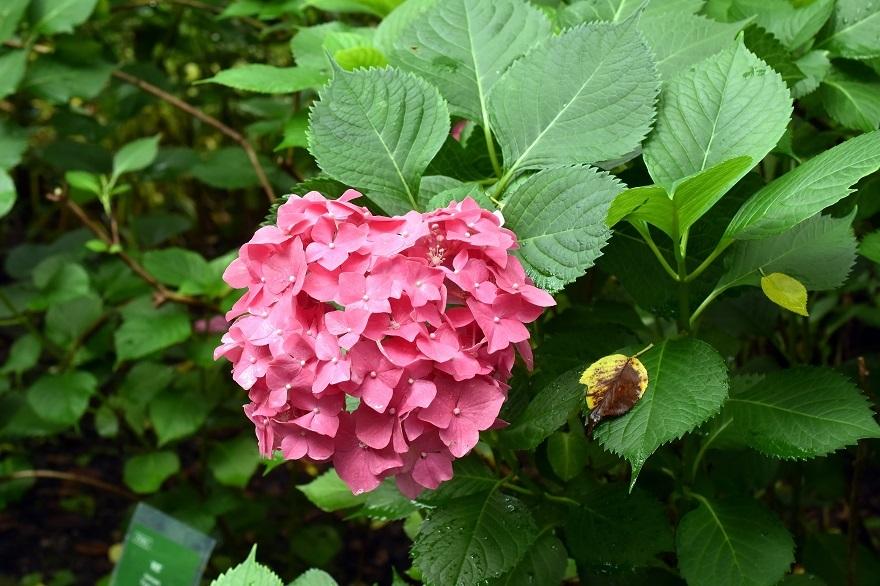 花の文化・紫陽花 (8)