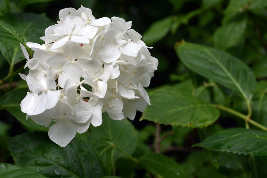 花の文化・紫陽花 (9)