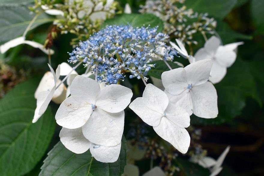 花の文化・紫陽花 (10)