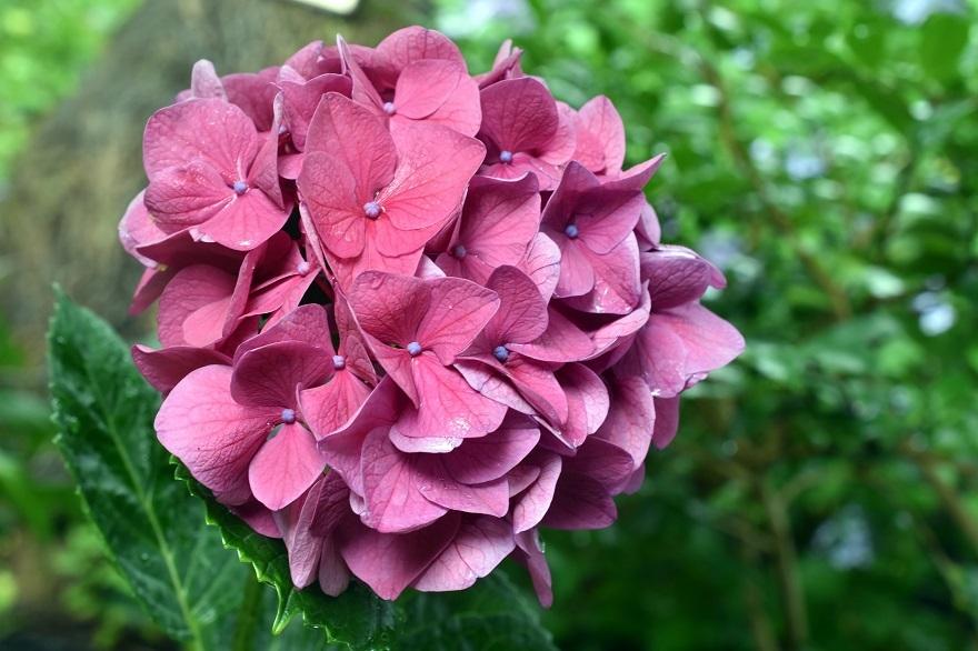 花の文化・紫陽花 (11)