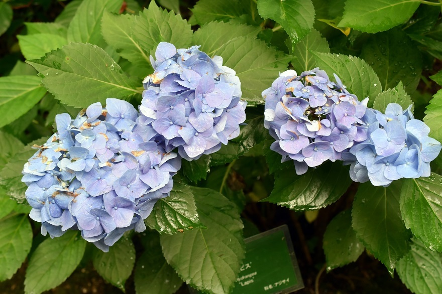 花の文化・紫陽花 (12)