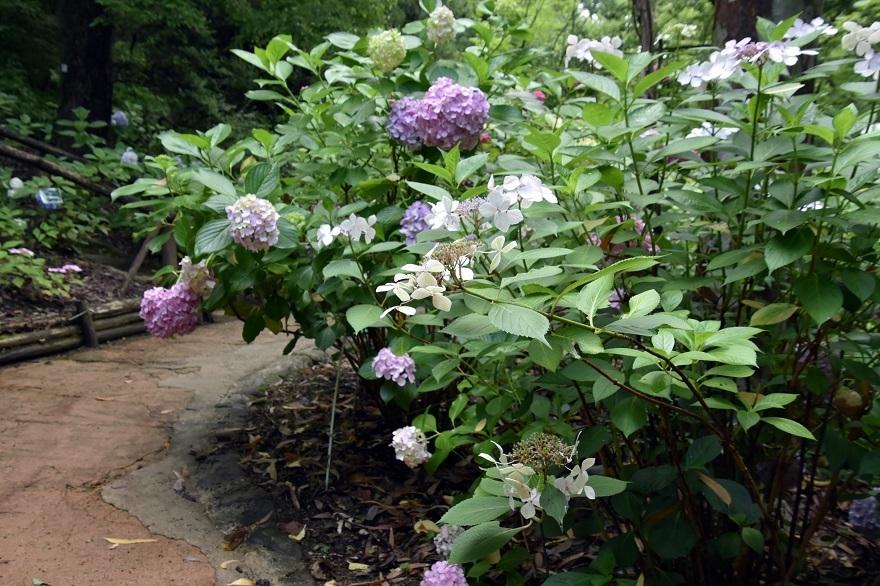 花の文化・紫陽花 (14)