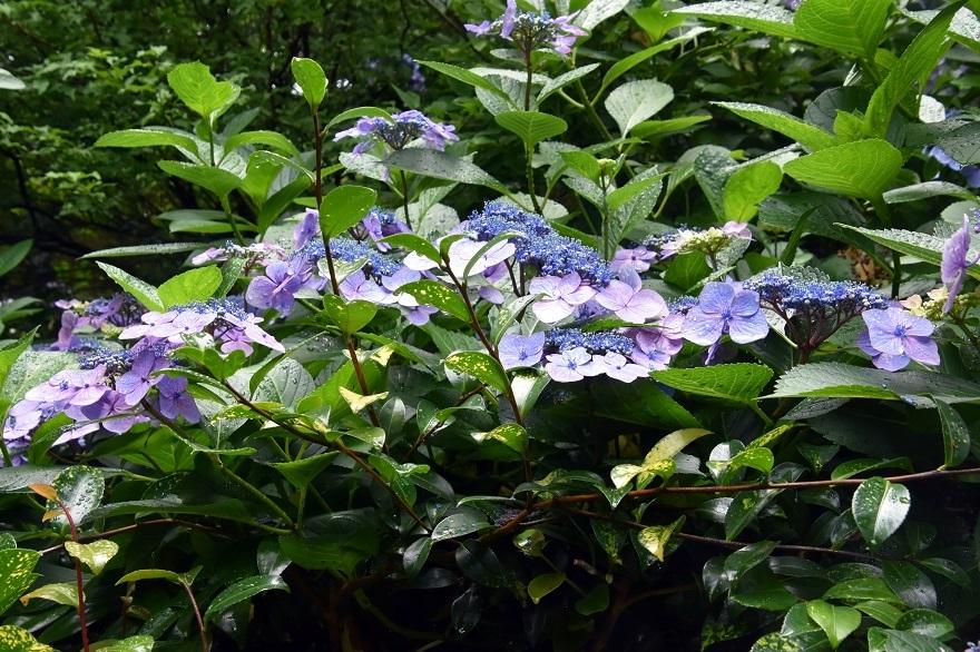 花の文化・紫陽花 (15)