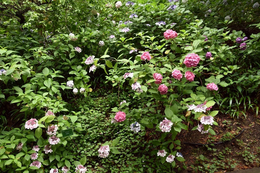 花の文化・紫陽花 (16)