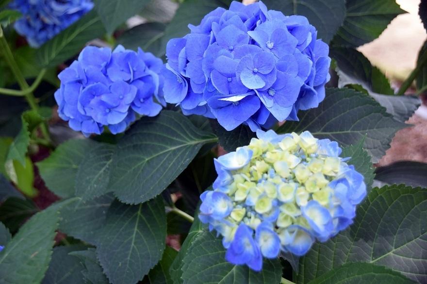 水の森・紫陽花 (1)