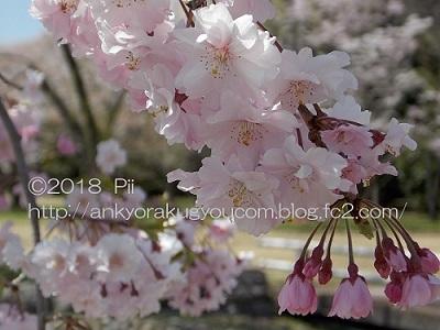 桜 2018-3-30 (4)