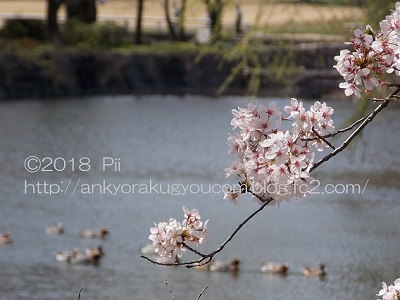 桜 2018-3-30 (2)