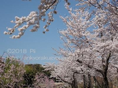 桜 2018-3-30 (3)