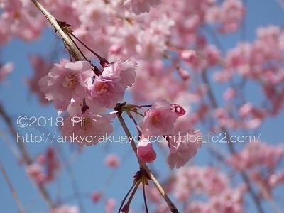 桜 2018-3-30 (6)