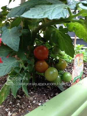 しいの家庭菜園 2018-6-8 (1)