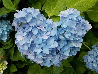 三室戸寺のあじさい園(京都府・宇治市) 2018-6-8 (1)