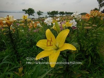 大阪舞洲ゆり園・写真 2018-6-21 (5)