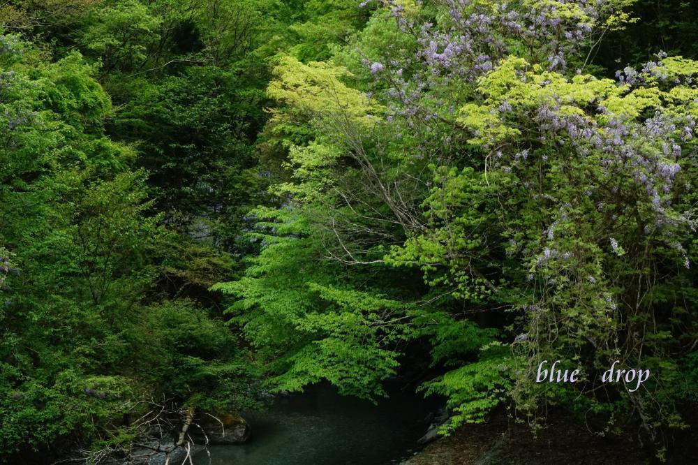 藤の花咲く渓谷*