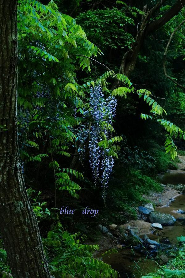 藤の咲く渓流*