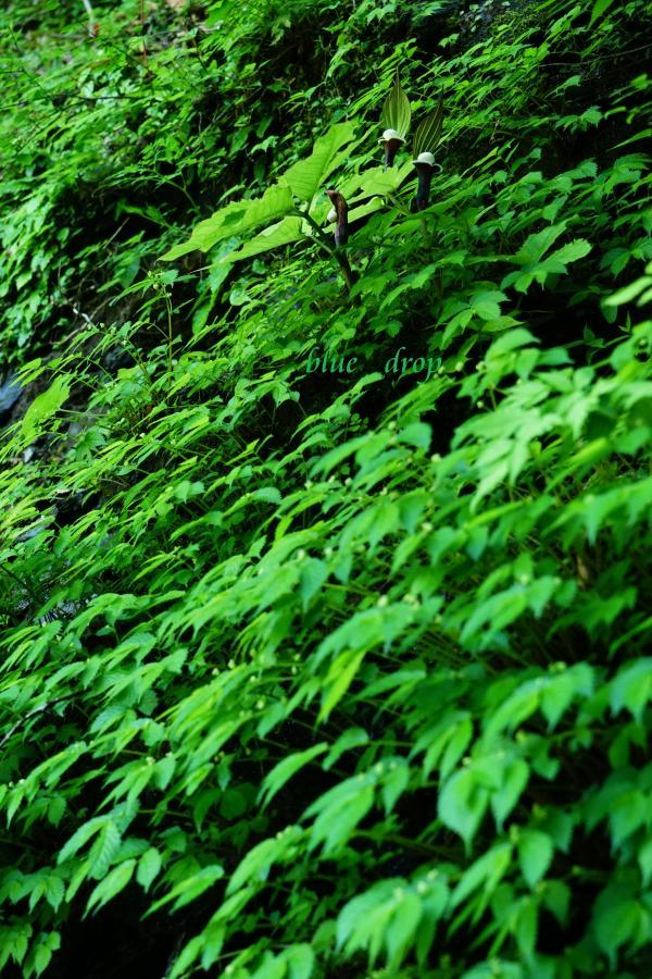 雪餅草の咲く森*