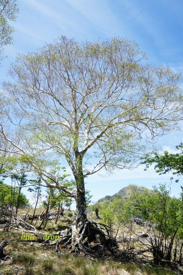 根上がりの木*