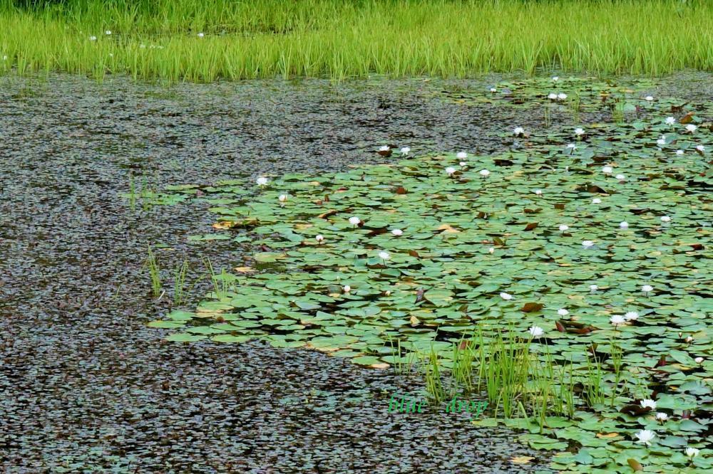 初夏の池*
