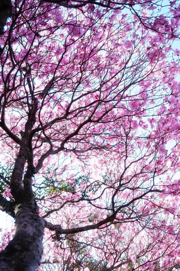 アケボノツツジが咲くとき*