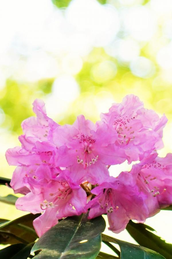 石楠花の花*